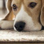 aspirateur poils de chien