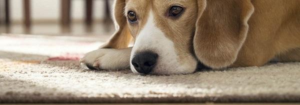 comment aspirer les poils de chiens